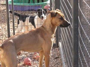 Belgian Malinois Greyhound The Fastest Police Dog At 40