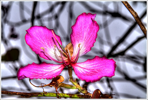 Back Light Orchid Tree | by tebographics