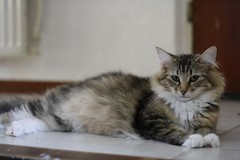 Nola 6 weeks pregnant | by Cattery Perun's