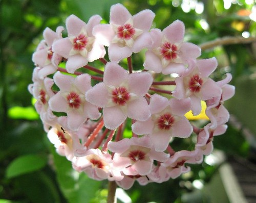 Hoya Carnosa | by sallysetsforth