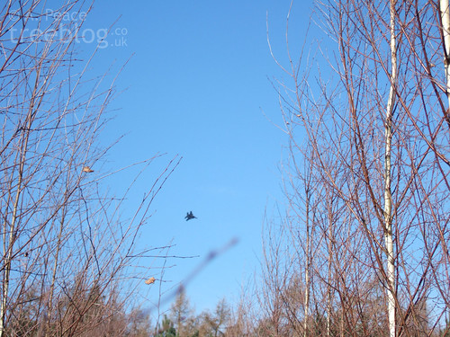 Jet over Thetford birch provenance trial (27th February 2008) | by treeblog