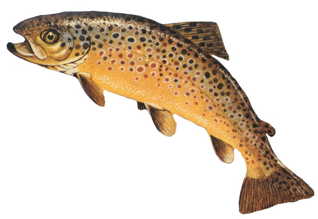 Image result for brown trout