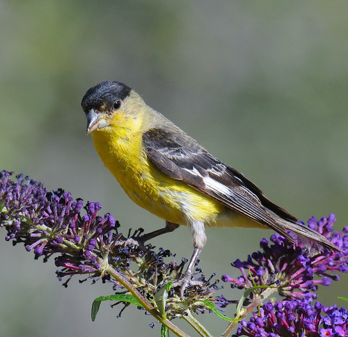 Lesser Goldfinch | by Collins L. Cochran
