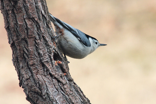 nuthatch stance | by Dailyville