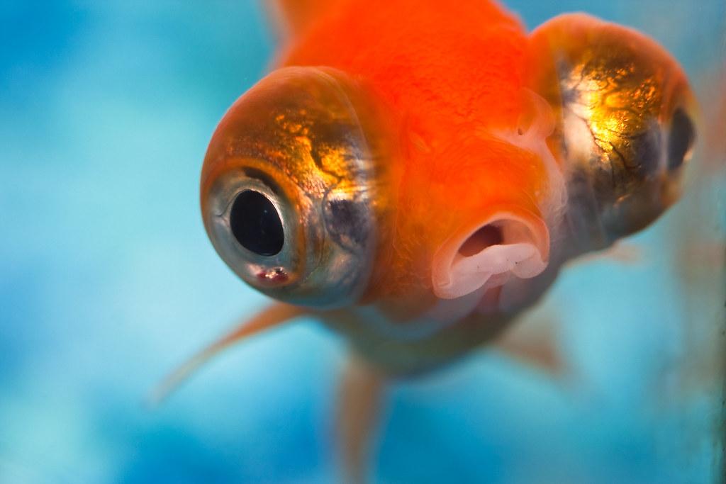 Image result for goldfish flickr