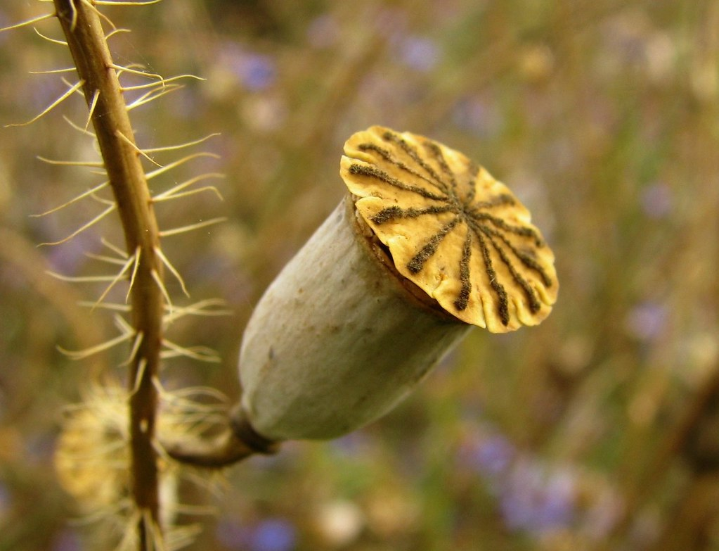 Corn Poppy Seed Pod National Botanic Garden Of Belgium Me Flickr