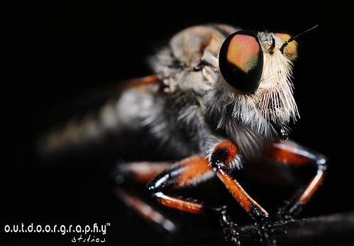 Outdoorgraphy™ On Black : Robberfly #1 | by Sir Mart Outdoorgraphy™