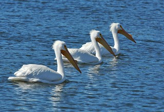 pelicans3 | by Contra Costa Times