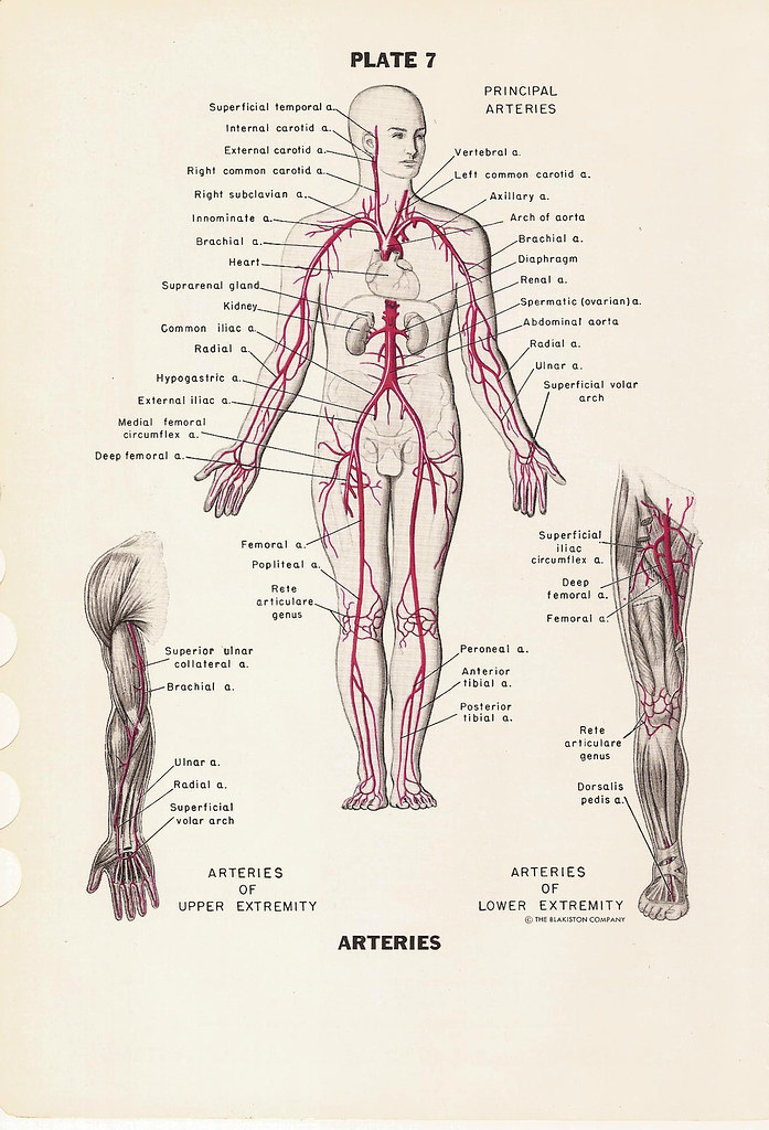 Pre And Post Natal Circulatory Systems And Major Arteries Flickr