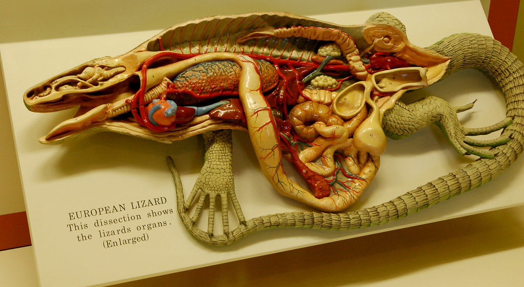Wax Anatomical Model of an Iguana | At the Smithsonian Natio… | Flickr