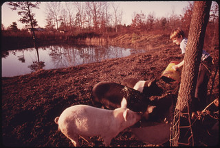 Darrell Gipson, 13, Son of Mr. and Mrs. Wayne Gipson, Who Lives near Gruetli, Tennessee, near Chattanooga, Feeds Pigs after School 12/1974 | by The U.S. National Archives