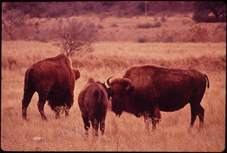 Buffalo in Meadow on Bell Ranch, 11/1972 | by The U.S. National Archives