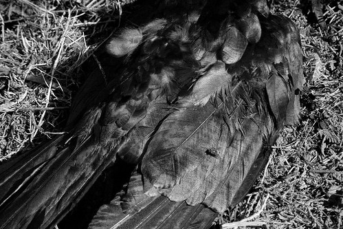 a crow left of the murder | a dead crow | pwjamro | Flickr A Crow Left Of The Murder