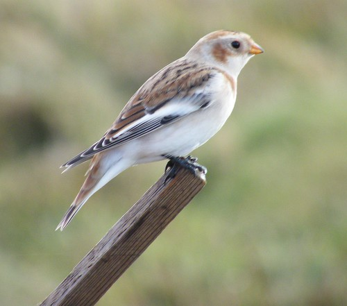 Snow Bunting | by DonaldUist