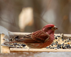 Purple Finch | by Heather of the Hills