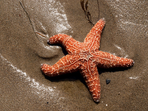 Starfish | by JessycaFrederick