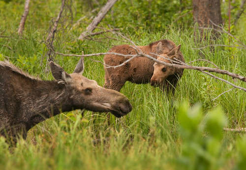 how to call a moose cow