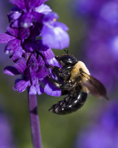 Eastern Carpenter Bee on Purple | by Second City Warehouse