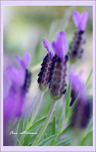 Stoechas Lavender | by fine_settimana (On & off... )