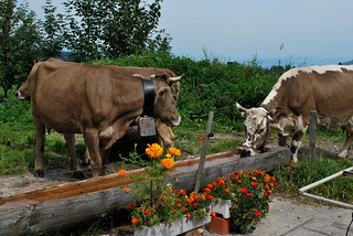 Cows @ the Fountain | by goingslowly