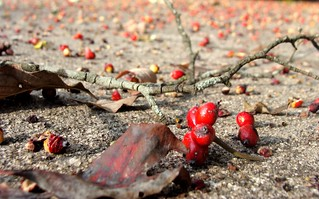 Dogwood fruit, knocked down by blackbirds and squirrels, on our driveway