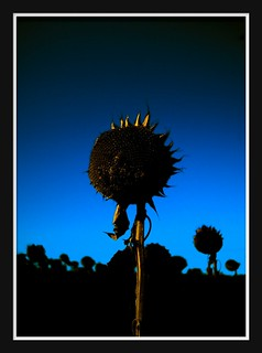 Last Sunflower | by Shane Hicks