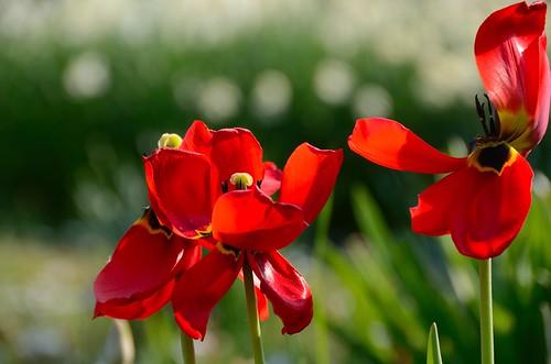 rote verbl hte tulpen tulip verbl hte rote tulpen im fr flickr. Black Bedroom Furniture Sets. Home Design Ideas