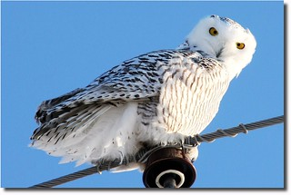Snowy Owl | by nature55