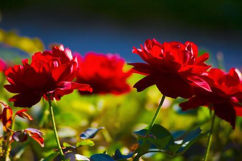 des roses comme des fleurs des champs sophie gs flickr. Black Bedroom Furniture Sets. Home Design Ideas