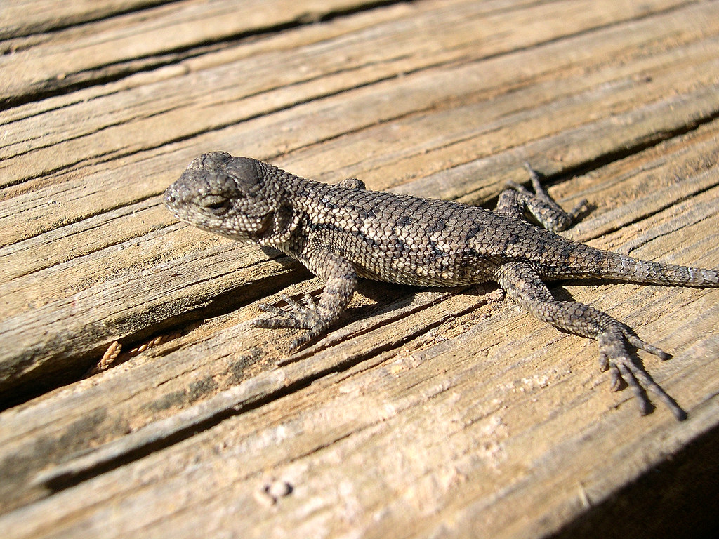 Eastern Fence Lizard Baby This Is A Baby Eastern Fence Flickr