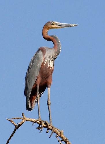 Goliath Heron | by Nige's Place