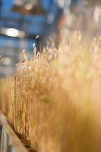 Greenhouse - Wheat | by GarrettHupe