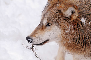 Wolf profile and snow | by Tambako the Jaguar