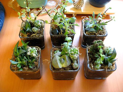 Mini Succulent Gardens