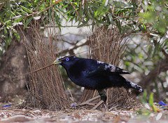 Satin Bowerbird | by 0ystercatcher