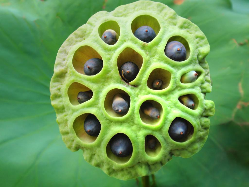 Lotus Seed Pod Tanakawho Flickr