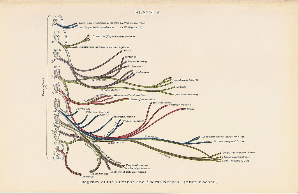 Diagram of the LUMBAR and Sacral Nerves Back Muscle Anatom… | Flickr