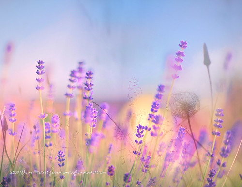 Lavender Bokeh © Glenn E Waters  (Explored).  Over 19,000 views to this photo. Thank you. | by Glenn Waters ぐれんin Japan.