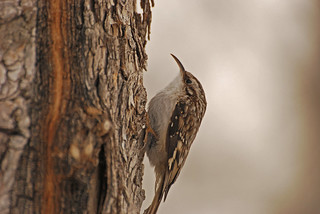 Brown Creeper - Project 365 Day 49 | by Ron Kube Photography