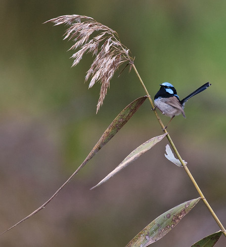 Male Superb Fairy Wren. | by dicktay2000