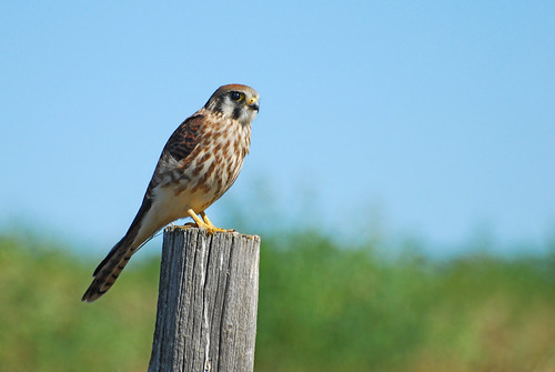 Juvenile Kestrel DSC_9345 | by Ron Kube Photography