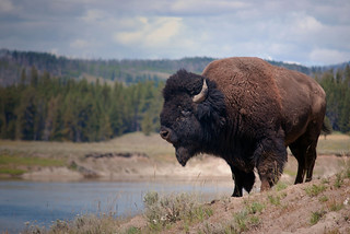 Bison in Yellowstone | by etharooni