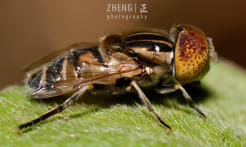 Fly: Syrphidae: Genus Eristalinus | by zh3nG 正
