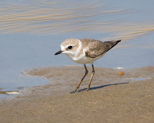Kentish Plover | by Sergey Yeliseev