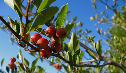 Hawthorne tree berries | by telaine