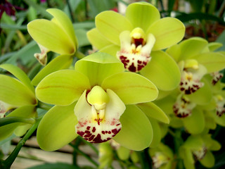 Cymbidium Dame Catherine | by orchidgalore