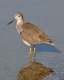 Greater Yellowlegs in Shoreline Lake | by donjd2