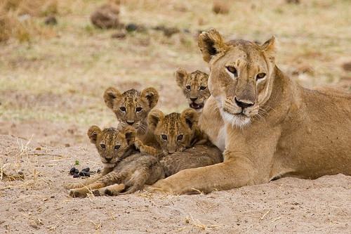 Lion cubs | by astro_wout