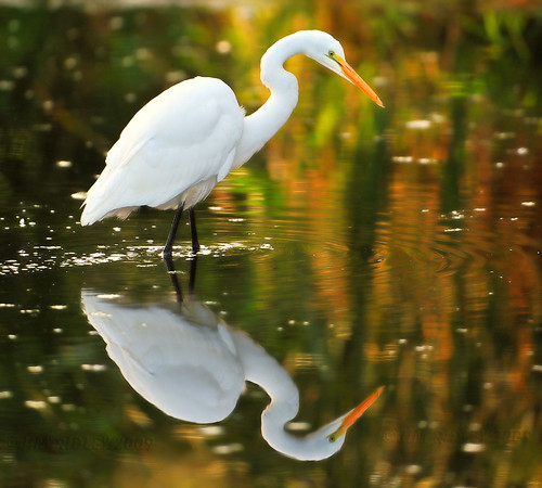 Great White Egret Reflection! | by JRIDLEY1