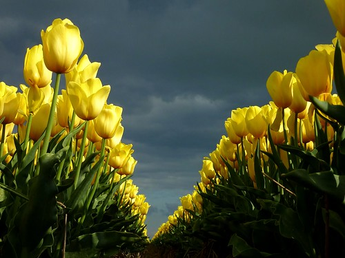 Yellow tulips | by Frans.Sellies